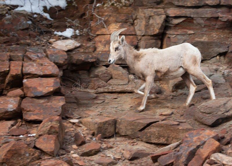 Una oveja de cuernos grande de las ovejas del desierto viene abajo de una cuesta nevosa a lo largo de un rastro rocoso en el parq imagenes de archivo