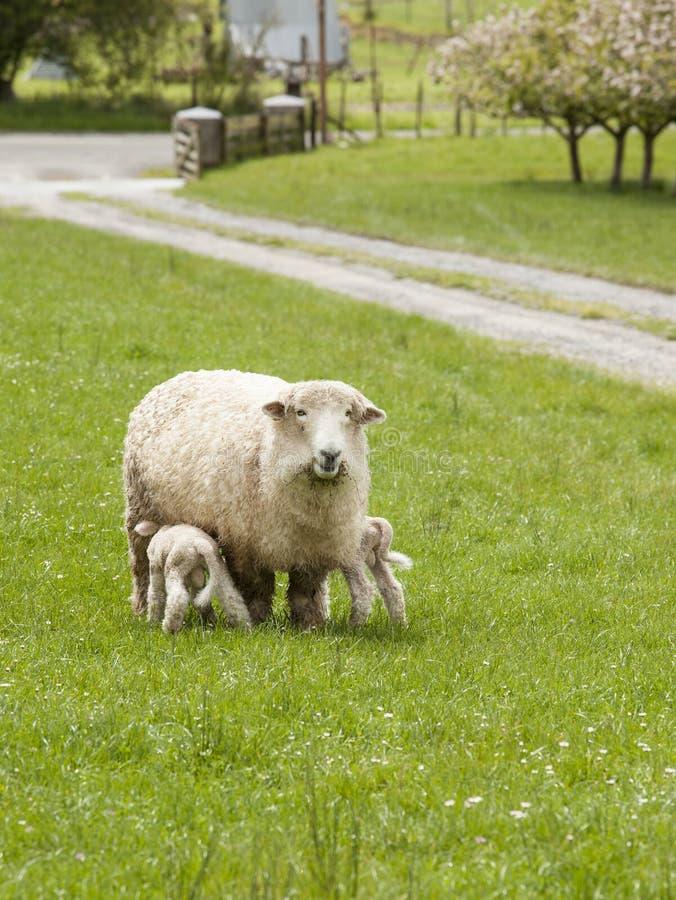 Una oveja de la oveja de la madre con el bebé pare el oficio de enfermera en el campo de la primavera, Moutere superior, isla del imagenes de archivo