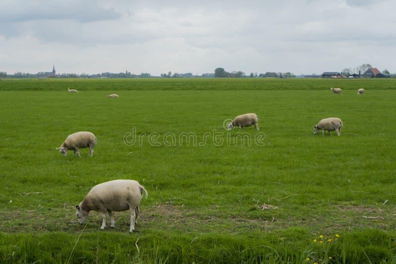 Una oveja en el primero plano con algunas ovejas blancas en el fondo Ovejas que disfrutan de su hierba verde vibrante y blanco az foto de archivo