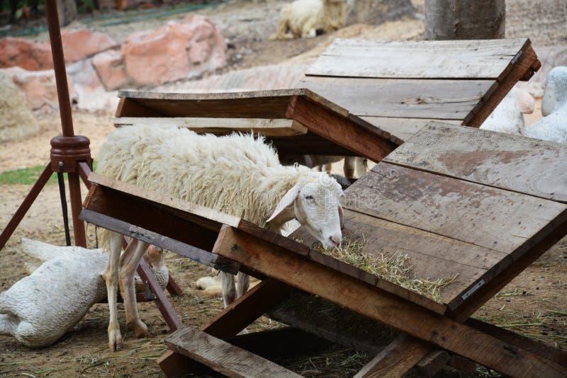 Una oveja en la granja foto de archivo