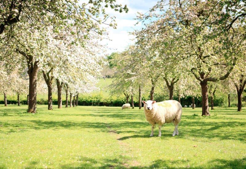 Una oveja en la huerta hermosa imagen de archivo
