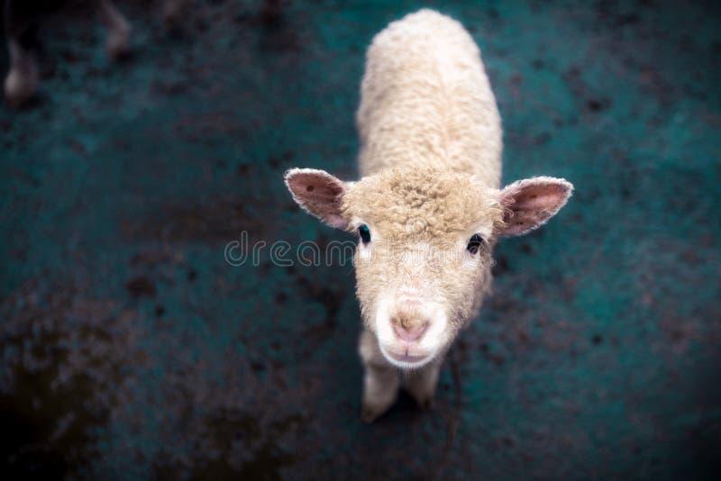 Una oveja joven mira en la cámara imágenes de archivo libres de regalías