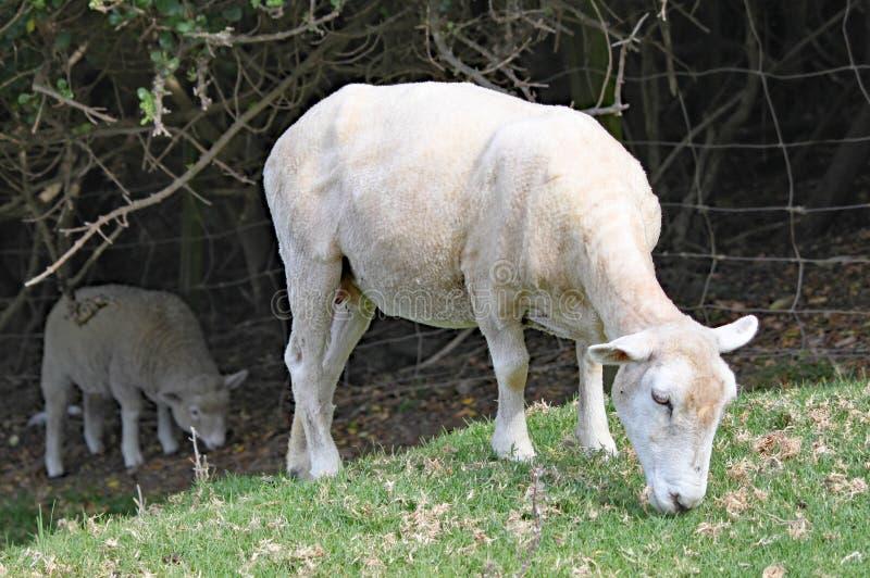 Una oveja rapada pasta en la hierba en un prado fotografía de archivo