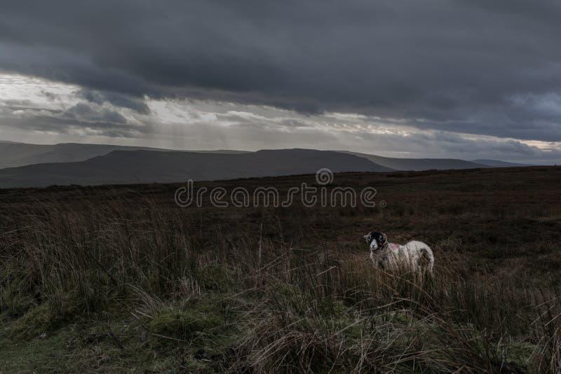Una oveja solitaria en un triste amarra imagen de archivo