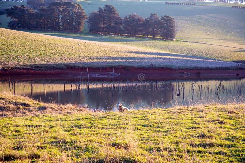 Una oveja y una presa fotos de archivo