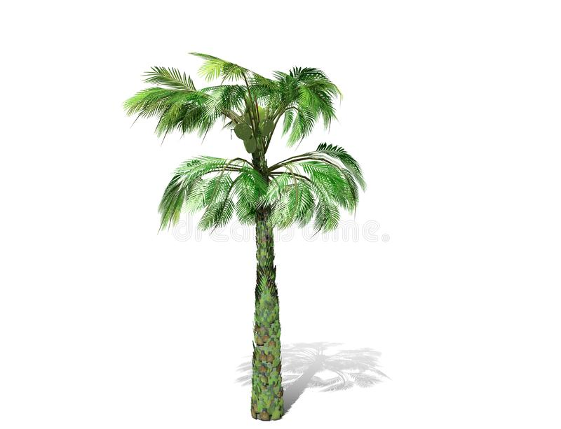 Una palmera alta aislada sobre un fondo blanco fotos de archivo libres de regalías