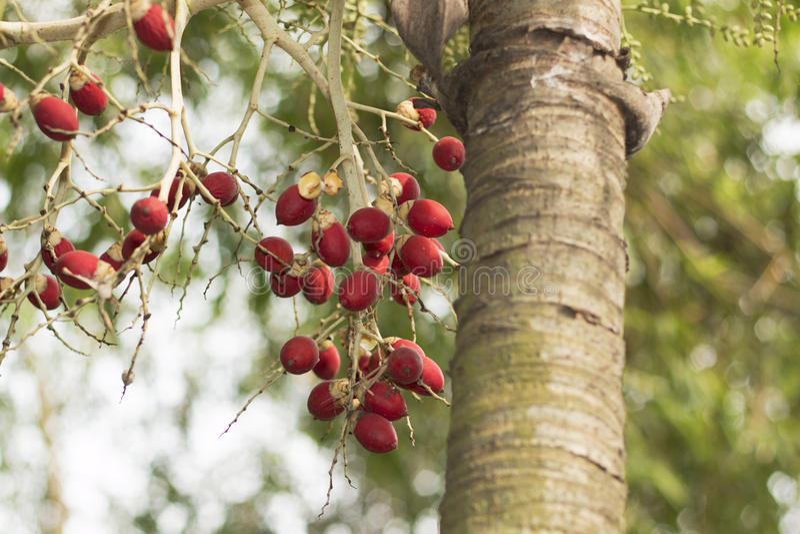 Una palmera con las frutas rojas foto de archivo