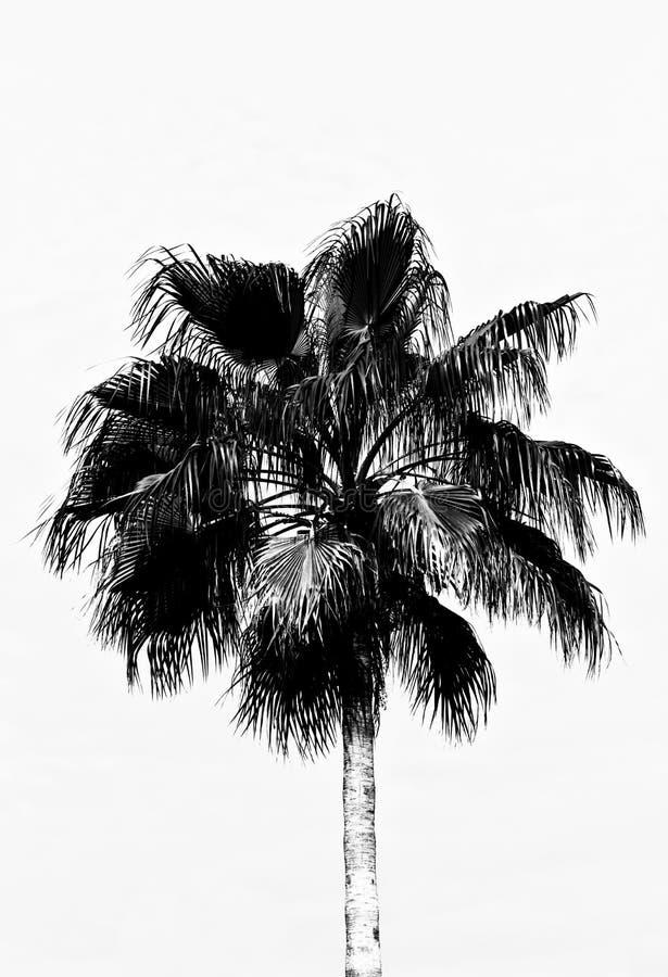 Una palmera en blanco y negro, de que aparece ser un dibujo imagenes de archivo