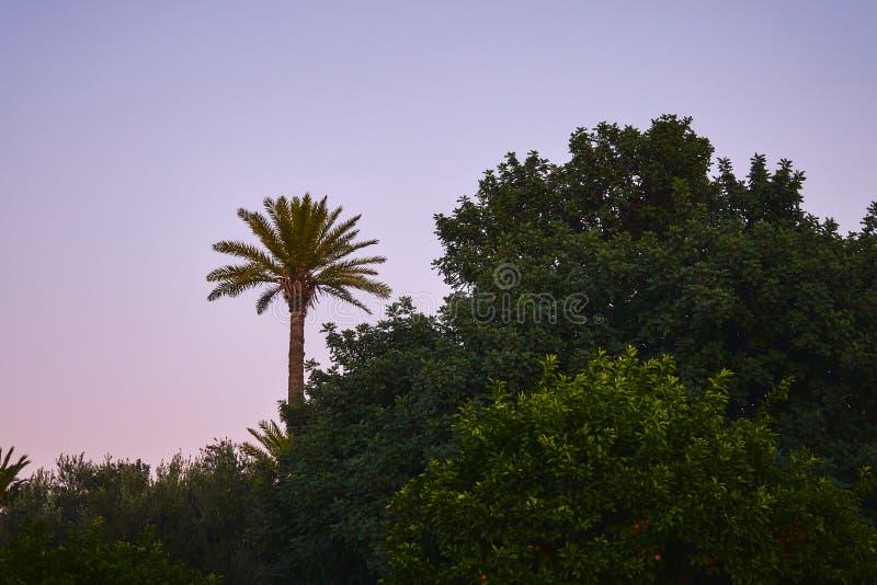 Una palmera tropical en el cielo violeta después de la puesta del sol imagenes de archivo