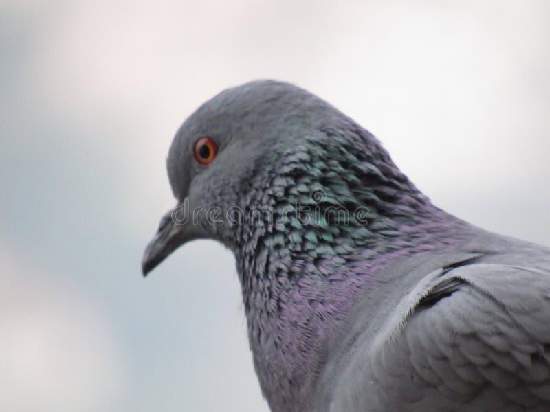 Una paloma imagen de archivo libre de regalías