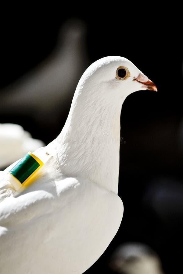 Una paloma autoguiada hacia el blanco blanca fotos de archivo libres de regalías