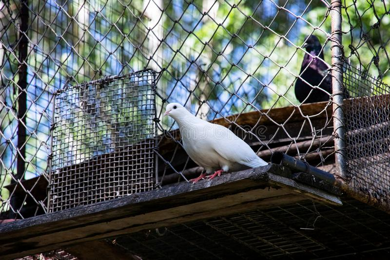 Una paloma blanca se sienta al borde de la jaula imagenes de archivo