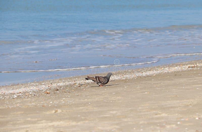 Una paloma camina en la playa cerca del agua imagenes de archivo
