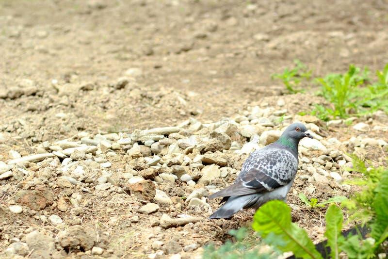Una paloma camina a través de la tierra foto de archivo