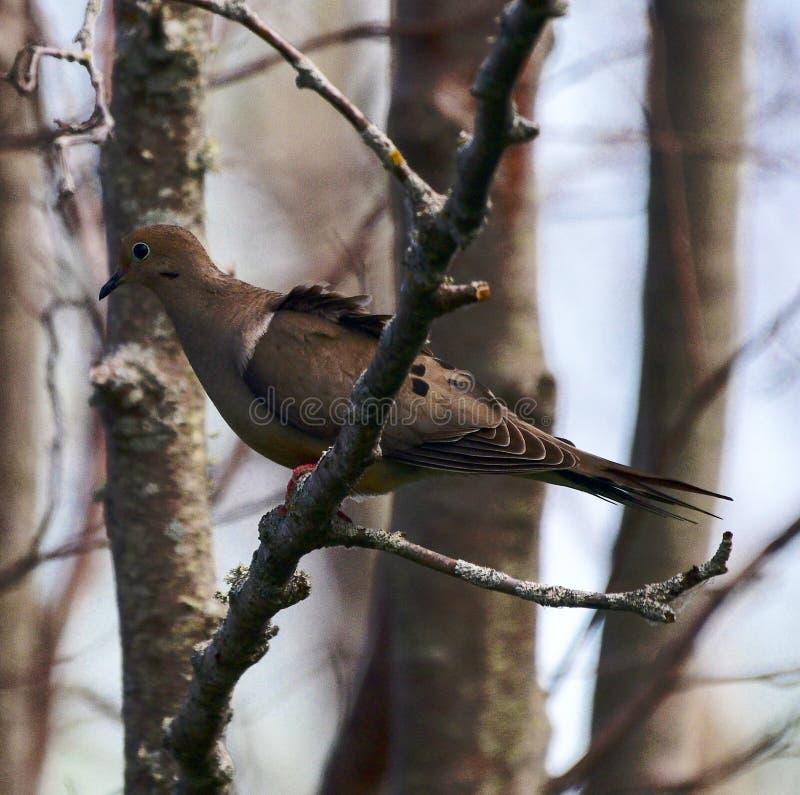 Una paloma de luto foto de archivo libre de regalías