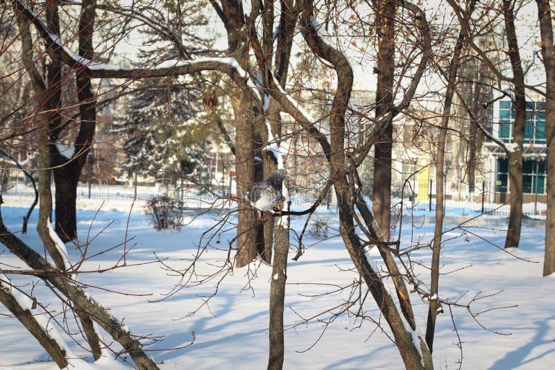 Una paloma de luto espera hacia fuera una tormenta de la nieve encaramada en rama de árbol nevada imagen de archivo