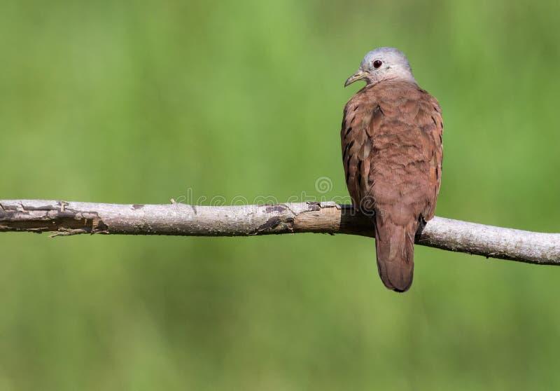 Una paloma de tierra rubicunda fotografiada en Costa Rica fotos de archivo