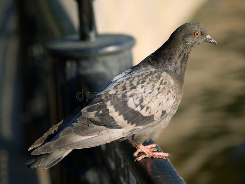 Una paloma gris foto de archivo