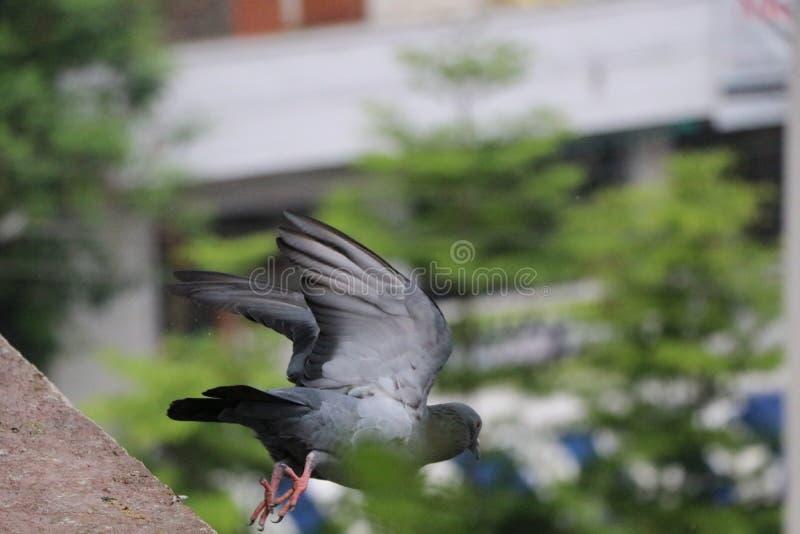 Una paloma gris del vuelo hermoso foto de archivo libre de regalías
