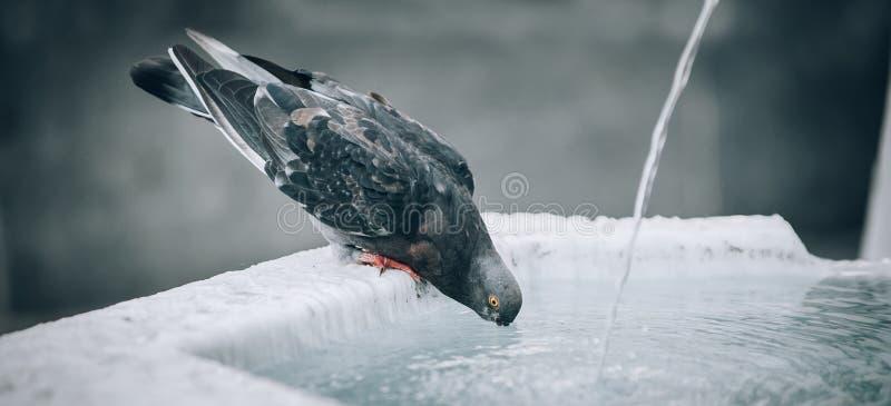 Una paloma sedienta bebe el agua en la fuente de la ciudad fotografía de archivo libre de regalías