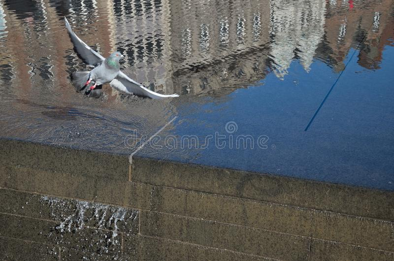 Una paloma sobre el agua imagen de archivo libre de regalías
