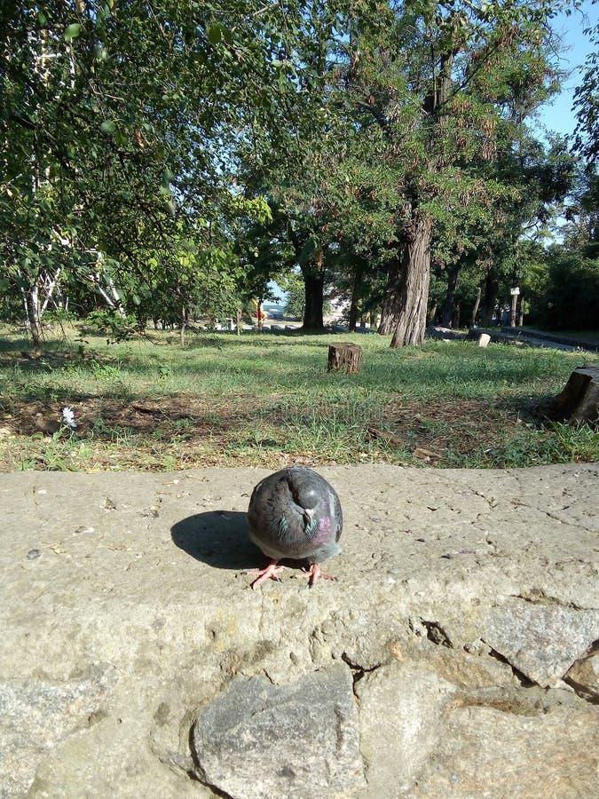 Una paloma solitaria imagen de archivo
