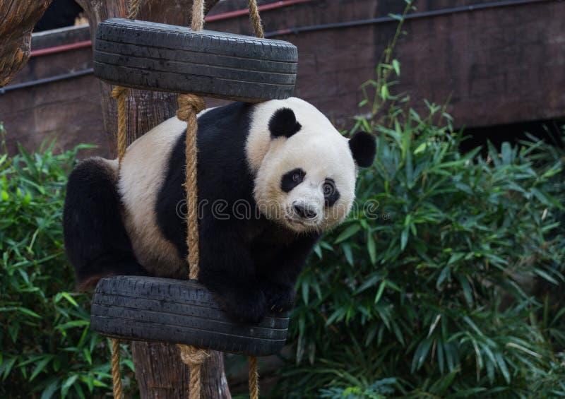 Una panda que juega el juguete imagenes de archivo
