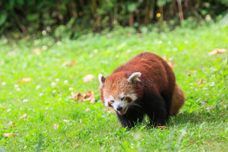 Una panda roja que se relaja en un campo herboso fotografía de archivo