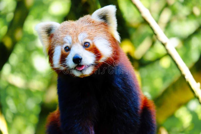 Una panda roja que sube un árbol fotos de archivo