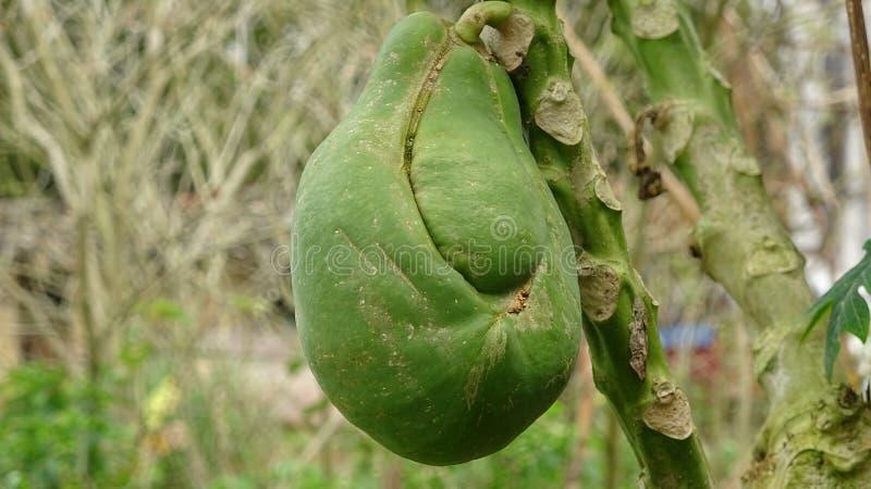 Una papaia deforme è sull'albero immagini stock libere da diritti
