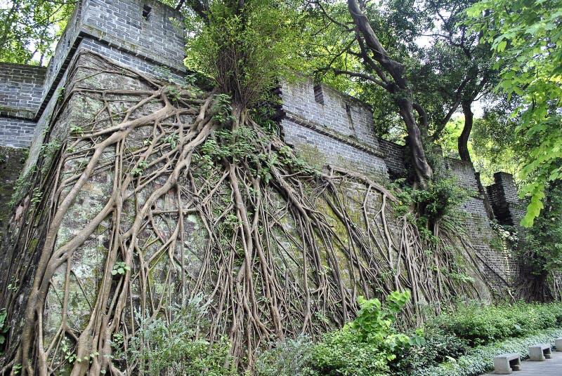 Una parete cinese antica con gli alberi e la crescita delle radici immagini stock libere da diritti