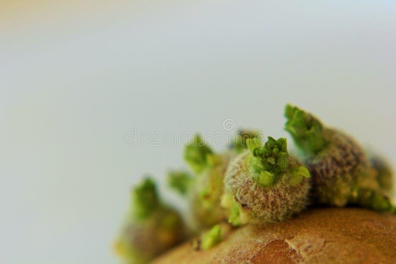 Una patata de la germinación imagen de archivo
