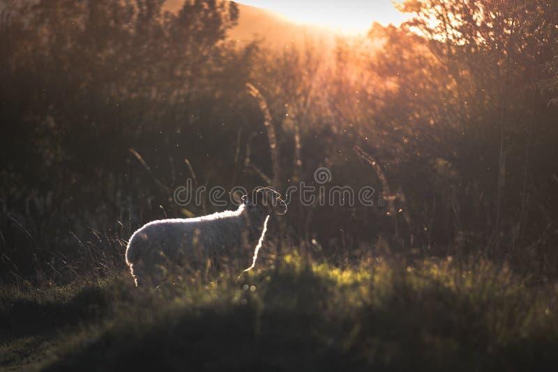 Una pecora che fissa fuori verso un tramonto immagini stock libere da diritti