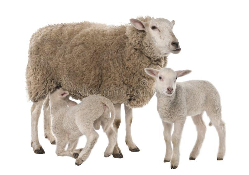 Una pecora con i suoi due agnelli, una sta allattando fotografie stock