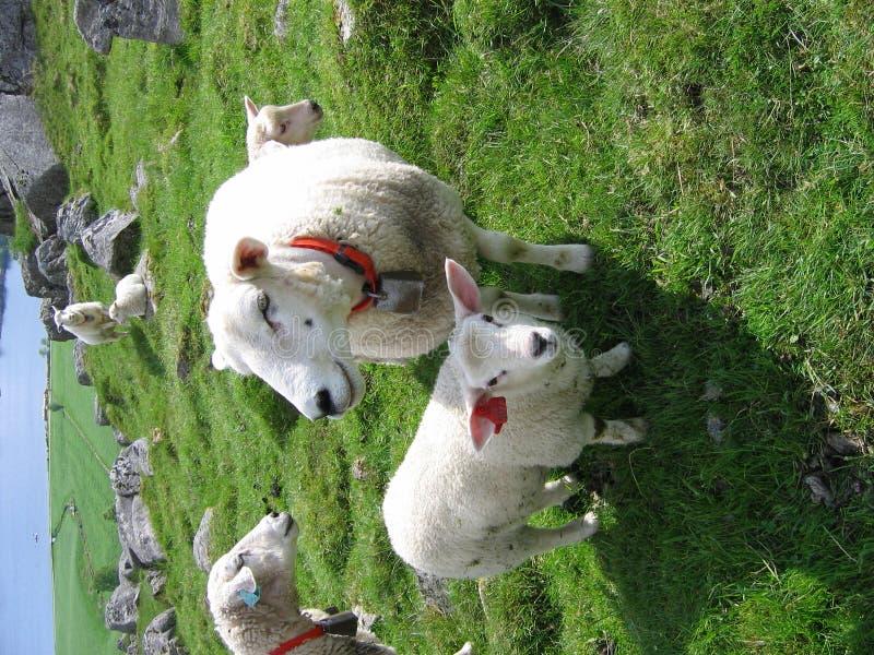Una pecora della madre e un agnello immagine stock