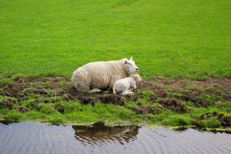 Una pecora ed il suo bambino immagine stock libera da diritti
