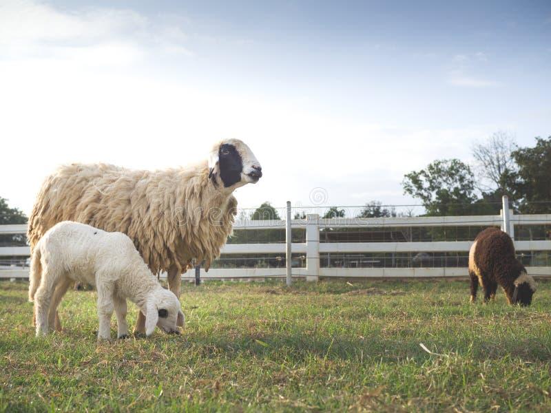 Una pecora facente una pausa della madre dell'agnello da latte sveglio fotografie stock libere da diritti