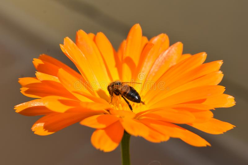 Una pequeña abeja en una flor anaranjada fotografía de archivo
