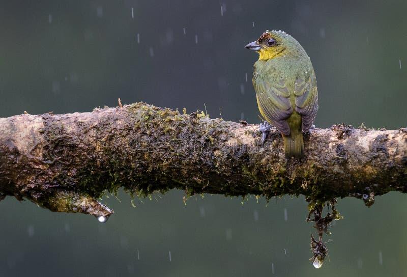 Una pequeña aceituna apoyó tubas tenor debajo de la lluvia imágenes de archivo libres de regalías