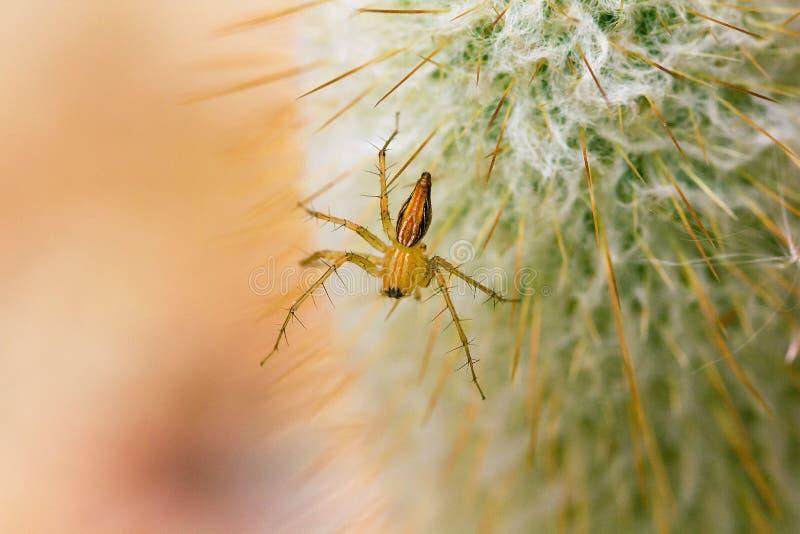 Una pequeña araña marrón está caminando en un cactus fotos de archivo