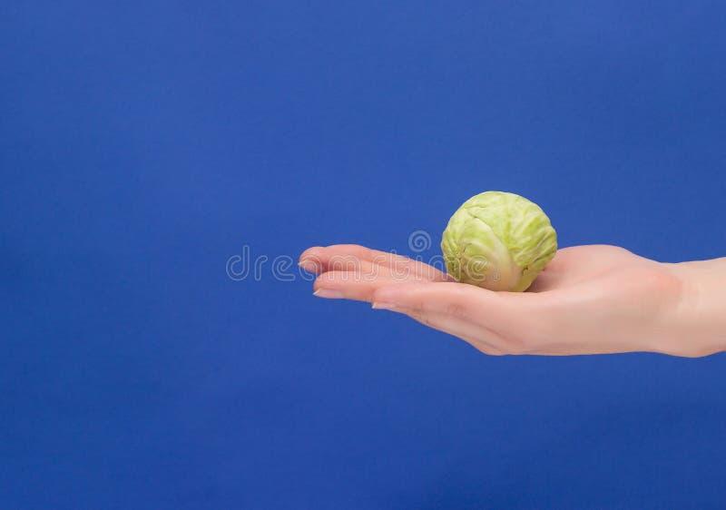 Una pequeña cabeza de la col miente en la palma de su mano, primer, fondo azul, nutrición apropiada, vegetarianismo, col del espa foto de archivo