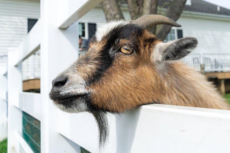 Una peque?a cabra marr?n linda mira a escondidas aunque una cerca blanca en un zoo-granja en Pennsylvania imágenes de archivo libres de regalías