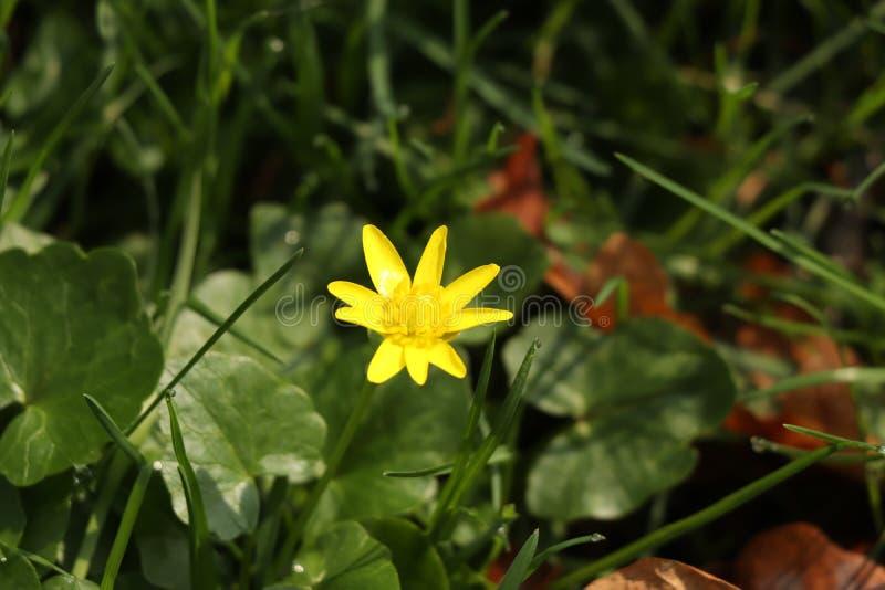 Una pequeña flor amarilla conocida como verna de Ficaria que crece en República Checa en Europa foto de archivo libre de regalías