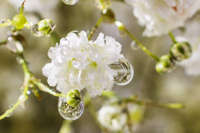 Una pequeña flor del gypsophila blanco foto de archivo