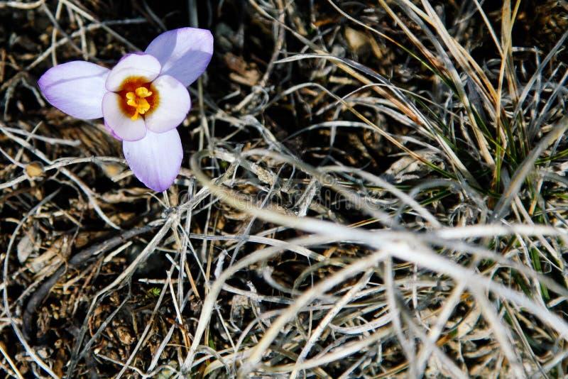 Una pequeña flor hizo su manera de debajo la nieve y florecida Flor del azafrán en el fondo de la hierba seca fotografía de archivo