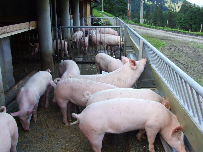 Una pequeña granja de cerdos en el valle de Weisstannental imagen de archivo libre de regalías