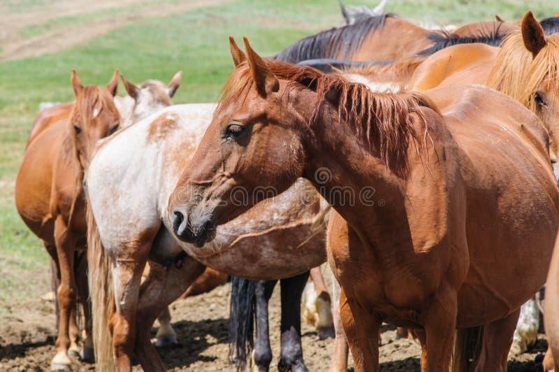 Una pequeña manada de caballos en corral imagen de archivo libre de regalías