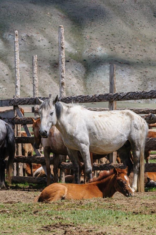 Una pequeña manada de caballos en corral imágenes de archivo libres de regalías