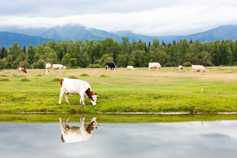 Una pequeña manada de vacas pasta por el río en un prado Coma la hierba verde fresca Una vaca se refleja en el agua fotografía de archivo