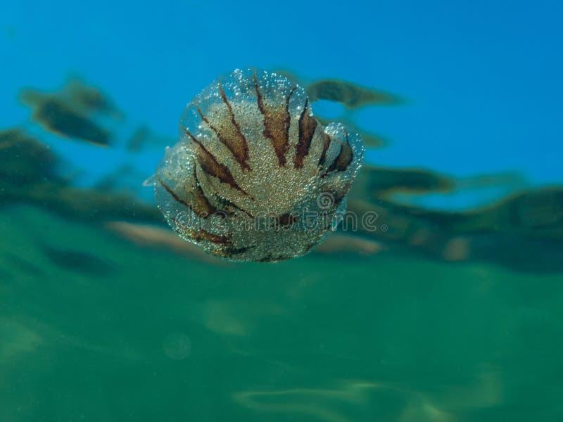Una pequeña medusa de la familia de hysoscella del Chrysaora de las medusas del compás en el mar Mediterráneo foto de archivo libre de regalías